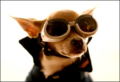 Ready for Take Off (vyxle) Tags: dog chihuahua blur cute puppy glasses dof bokeh goggles adorable preppy explore doggy collar poloshirt polo 39 doggie popped doggles biggie poppedcollar adorkable mywinners explore39 biggiebokeh