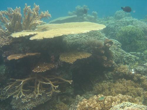 Makogai coral 3