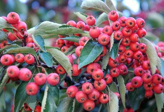McCarren Berries