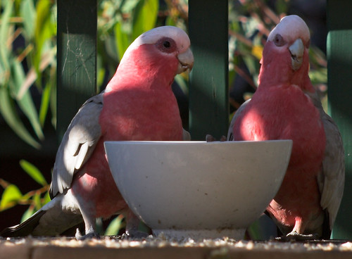 Galahs at the water bowl