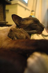 Male Bonding (Photolivier) Tags: cats buddies siamese obi vader obiwan lordvader twocats photolivier fotolivier photoliver fotoliver