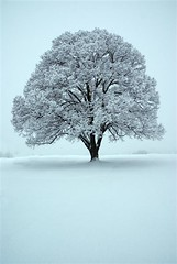 Linden Tree (littlebiddle) Tags: winter white snow cold tree fluffy ycc solitary onlythebestare scenicsnotjustlandscapes