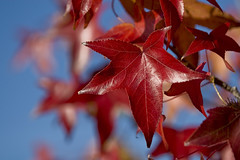 Southern California Fall. (peasap) Tags: ca blue red sky brown fall leaves canon eos star amber is sandiego shaped branches elcajon socal l 28 southerncalifornia 70200 ef 30d supershot colorphotoaward frhwofavs ysplix 70200efl28is