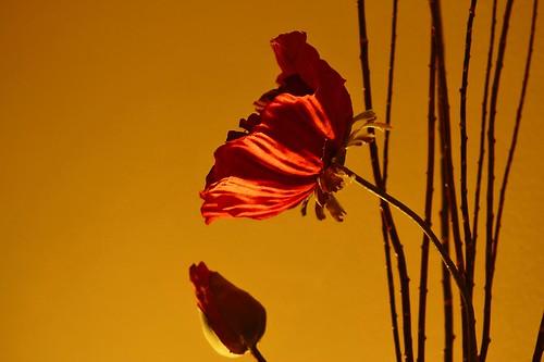 Still Life - Poppy