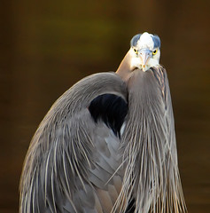 Slightly Disconcerting (ozoni11) Tags: lake bird heron nature birds animal animals nikon lakes explore wetlands greatblueheron herons wetland watcher birdwatcher d300 greatblueherons centenniallake interestingness151 i500 explore151 animaladdiction michaeloberman ozoni11 nikond300