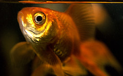 orange fish eye animal animals gold tank goldfish small