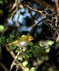 The Oriental White-eye