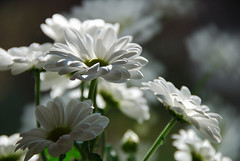 * (march25/AnnaZ) Tags: morning flowers light white green window closeup reflections daylight nikon soft colours shadows dof bokeh lumire hl annaz notreatment d80 theunforgettablepictures duelwinner copyrightedallrightsreserved