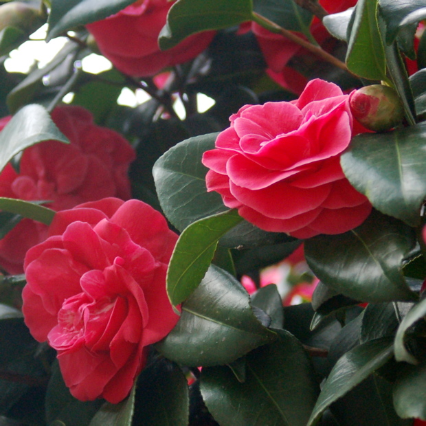 camellia_tree_close
