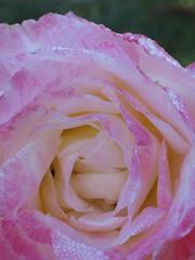 Fresh & ready for the day (Pink Thistle) Tags: morning pink holiday flower macro water rose morninglight dewdrops petals drops fresh pinkflower nsw newsouthwales drips pinkrose laggen dewonrose goldstaraward macroflowerlovers killaidenhouse