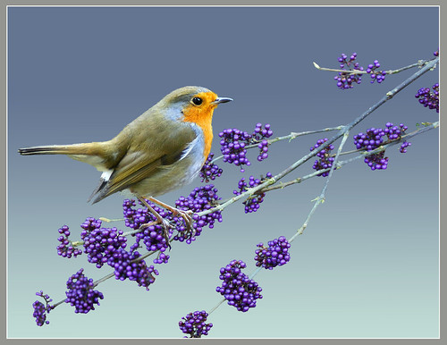 Robin & chinese winter berries