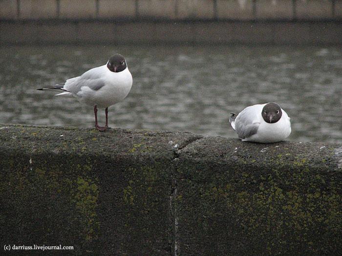 minsk_river_gulls