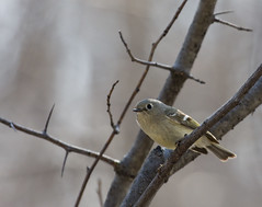 Ruby crowned kinglet - Roitelet à couronne rubis (Indydan) Tags: park bird canon summit ruby parc ornithology oiseau summitpark crowned rubis kinglet couronne ornithologie 40d roitelet