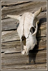 weathered.... (shellsnaps) Tags: cowboys skull wildwest hfg barnboard theperfectphotographer