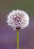 Fine and dandy (Mr Grimesdale) Tags: weeds mr steve dandelion wallace wildflowers mrgrimsdale sonydsch2 britishwildflowers grimesdale
