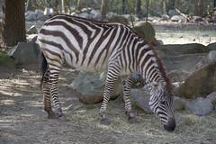 Brownie (ucumari photography) Tags: ucumariphotography riverbankszoo columbia sc south carolina february 2017 zebra animal mammal dsc6937