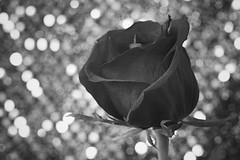 Rose and Sequins in B&W (amarilloladi) Tags: reflection light monochrome blackandwhite 7dwf bokeh bokehlicious sequins rose bw macromondays