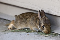baby_bunny.jpg