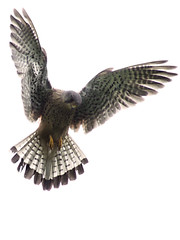 The Dance of a Hunter (Chris Beesley) Tags: bird kestrel hovering fujifinepixs5600 10faves