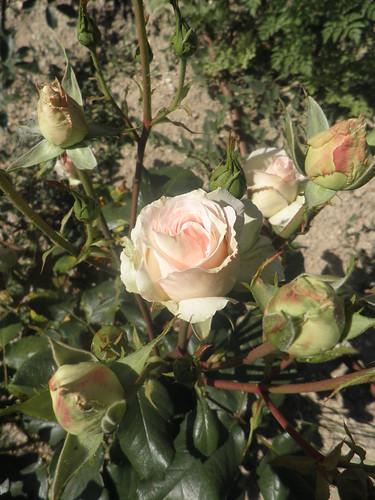 rosas e botões