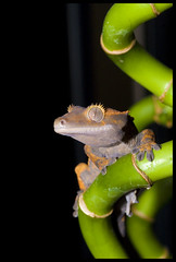 Gecko on bamboo (Buster Frith) Tags: 20d reptile lizard naturesfinest crestedgecko gekco busterfrith