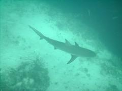 PICT0084 (JoseQ) Tags: blue mar hole great tiburones buceo caribe submarinismo tiburón