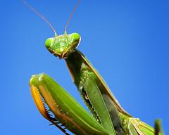 mantis portrait (eva8*) Tags: blue green wow bug mantis insect lookatme prayingmantis 60mm28 eva8 interestingness45
