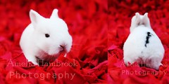 Baby on Red (millylillyrose) Tags: red colour bunny babies sweet 2weeks amandasactionspop1