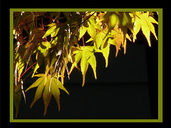 Shine on for me (frazz46) Tags: autumn fab fall leaves searchthebest oneofakind japanesemaple soe polaris naturesfinest beautifulcapture mywinners photoshopper anawesomeshot pdpnw flickrplatinum infinestyle diamondclassphotographer ysplix amazingamateur exemplaryshots thegoldenmermaid theperfectphotographer