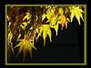 Shine on for me (frazz46) Tags: autumn fab fall leaves searchthebest oneofakind japanesemaple soe polaris naturesfinest beautifulcapture mywinners photoshopper anawesomeshot pdpnw flickrplatinum infinestyle diamondclassphotographer ysplix amazingamateur exemplaryshots thegoldenmermaid theperfectphotographer