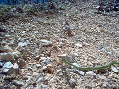 Rough Green Snake (Opheodrys aestivus) (Adventurer Dustin Holmes) Tags: photography reptile snake serpent ilan snakes ular animalia nab schlange madu suge ejo serpiente ula nonvenomous  greensnake serpente ylan reptilia serp anguis krme nathair chordata serpentes  ophidia w squamata   gyvat serpento roughgreensnake opheodrysaestivus neidr kgy ahas    zmija nyoka  kaa     ska    gjarpr carnivorousreptile conrn  koulv    carnivorousreptiles  arpe agw    nakahi