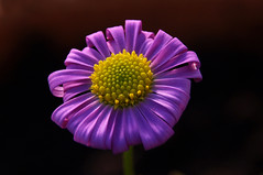 mexican daisy (jormook) Tags: