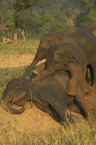 pile of baby elephants