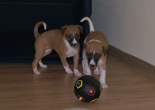 Whippet puppies 4,5 weeks old: Anuket & Arctic