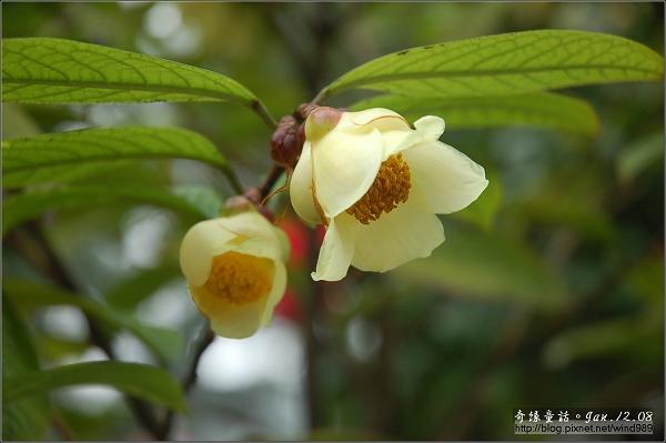 DSC_7191凹脈金花茶(花卉試驗中心)