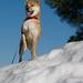 柴犬:top of the world