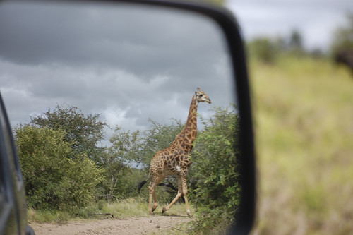 giraffe walking past.jpg