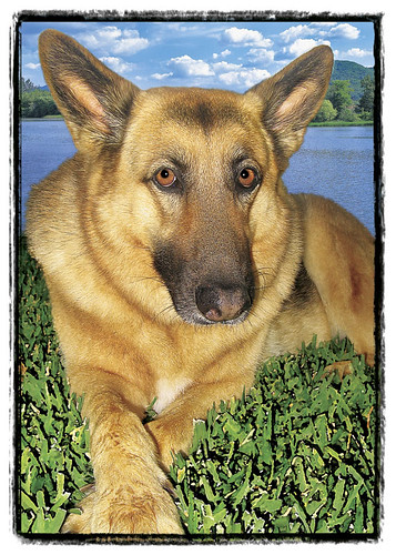 "German Shepherd  ""Heidi"""