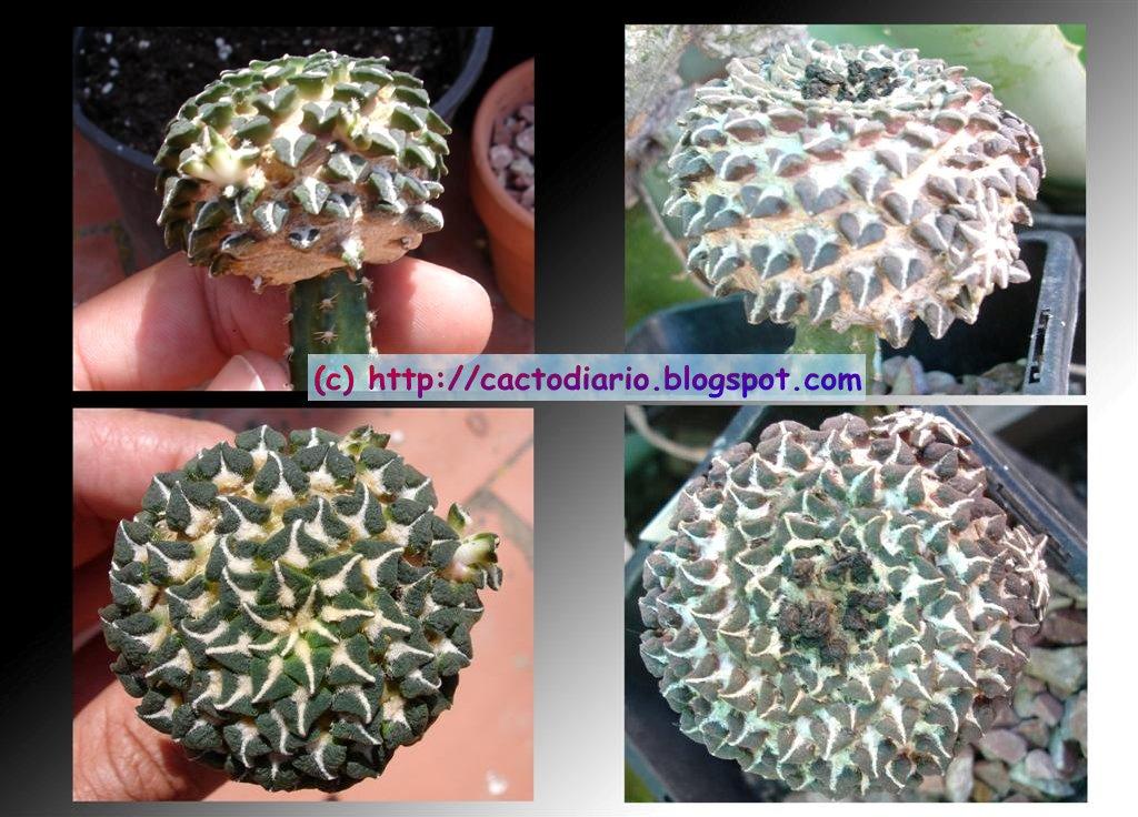 injerto ariocarpus crecimiento injertar cactus graft cacti