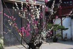 Plum flowers in blossom in Shanghai-2, 2008-005 (yhshangkuan) Tags: 2008 plumblossom plumflower shangkuan
