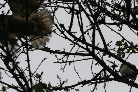 mottled wood owls..one is flying off after being mobbed by crows lalbagh 220308