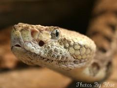 I Am A Snake..... A Rattle Snake (blueintheburgh) Tags: zoo pittsburgh reptile snake pittsburghzoo eastern snakes rattlesnake rattle diamondback specanimal animalkingdomelite mywinners abigfave aplusphoto rattlesnakepictures photorattlesnakehead rattlesnakepics