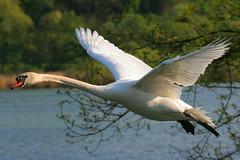 Schwan (samsession) Tags: animals tiere flying swan schwan fliegen