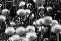 forest full of white fluffy heads (martyna_ksr21) Tags: ih blackwhitephotos golddragon ilovemypics