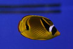 Tropical Fish - Aquarium of the Americas (uptonia) Tags: ocean sea fish coral aquarium shark underwater nemo diving otter tropical eel lionfish angelfish dory