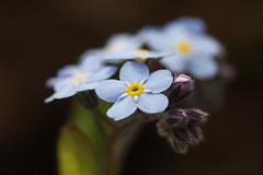Forget-me-not (andedam) Tags: blue macro forgetmenot mysotis forglemmegei challengeyouwinner photofaceoffwinner pfogold
