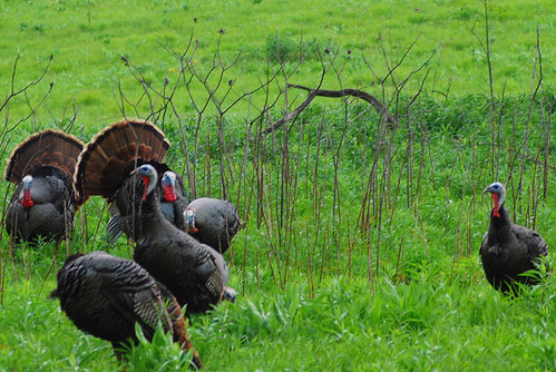 The Terrorist Tom Turkeys of Owen Conservation Park