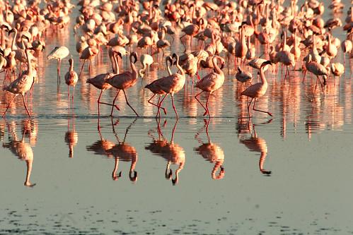 Flamingo Trott
