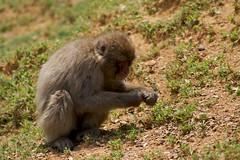 monkey eating (peter_r) Tags: japanesemacaque iwatayamamonkeypark macacafuscata