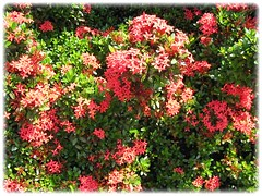 Ixora coccinea 'Dwarf Red' (Jungle Flame/Geranium, Flame of the Woods, Needle Flower) at our neighborhood